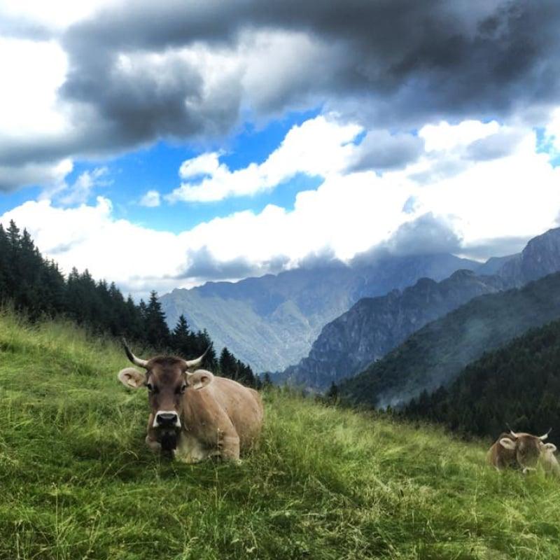 Latte di Bruna Alpina in Alpeggio